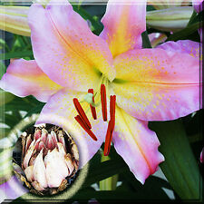 """Fresh Dug"" Oriental Pink Mystery Lily Lilium Liliaceae Plant Root Bulb"