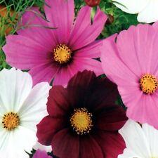 Schmuckkörbchen Mix Garten Schnittblumen Kosmos 100 Samen Nr.317