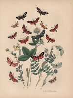 Esparsetten-Widderchen Zygaena carniolica Raupe LITHOGRAPHIE von 1870