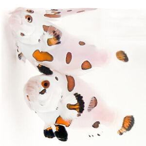 Sustainable Aquatics Super Storm Designer Clownfish Bonded Pair WYSIWYG