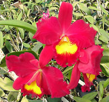 Cattleya Hybrid (Cross) Sale(10 plants in 3 1/4 inch pots -1-2 years to bloom)