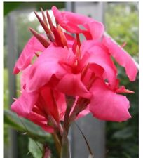 (20)Canna Lily Seeds -Queen Pink Canna Dwarf Seeds - 2'-3' Full Grown