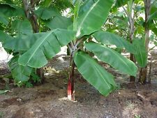"Cold Hardy Tropical Banana Tree - Musa Basjoo - Healthy 4"" Potted plant – 1 each"
