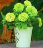 Seeds Zinnia Elegance Scabiosa Green Pots Flowers Garden Home decor 100 Pcs