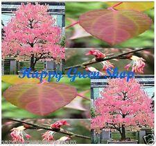 JAPANESE KATSURA - 100 seeds Bonsai - Cercidiphyllum japonicum Katsura Tree