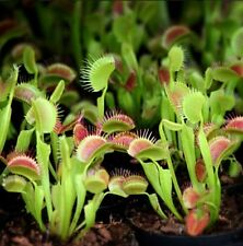 3 small B52 Giant Venus Flytraps (Fly Trap Carnivorous Plants) Dionaea Muscipula