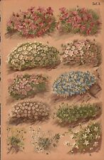 1892 BOTANICAL PRINT-ALPINE PLANTS-NIVAL PLANTS, ANDROSACE, SCORPION GRASS,CRESS