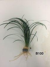 Exotic Live Aquatic Fresh Water Ophiopogon japonica Bundle Plan 00005Dda t B100