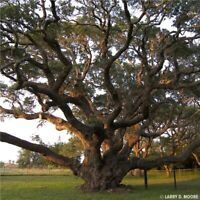 Free Shipping Live Oak   Quercus virginiana   Organic   10 Seeds