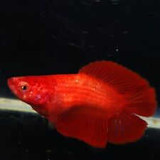 Live Betta Fish Super Red DTHM Female from Indonesia Breeder