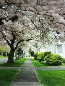 Yoshino Flowering Cherry Tree - Live Established Rooted 2 Ft Tall!