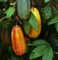 Passiflora tripartita var. Azuayensis - Mango passionfruit - Very Rare 10 Seeds