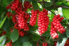 Schisandra Seeds Chinese Magnolia Chinensis Vine Seed Edible Fruit 100 Seeds