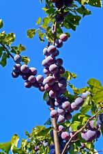 Czar Plum Tree 4-5ft Self Fertile,Ready to Fruit,Good For Cooking or Eating
