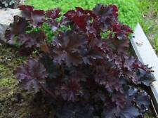 "Heuchera micrantha ""palace purple"" (20 Seeds/graines)"