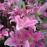 50x Pink Rare Lily Flower Seeds Planting Flower Lilium Perfume Lily Garden Decor
