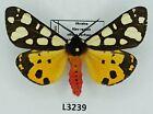 Erebidae, Arctiinae, Arctia villica, A1-, Ukraine