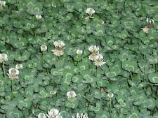 "Eltrébol Trifolium repens 50.000 semillas ""sólo 8,50 euros"""