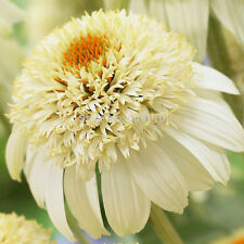 AA 100 seeds/bag Heirloom Echinacea 'Milkshake' Chrysanthemum seed ,Rare Flower