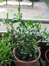 20 THAI KAFFIR LIME SEEDS, Fragrant & Organic Source of Lime Leaves for Cooking