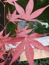 Beni Otake Japanese Maple perfect for Bonsai or garden 25 + Inches tall