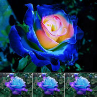 50Pcs Blue-Pink Rose Flower Seeds Home Garden Plants Rare FREE SHIPPING