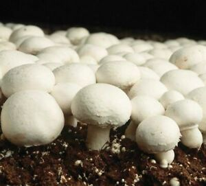 10ml White Button mushroom liquid culture