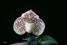 2 growths Paphiopedilum bellatulum  BLOOM SIZE