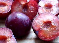 12+ cuttings HERITAGE RED-PURPLE  PLUM TREE -THE PERFECT FRUIT AND SHADE TREE!