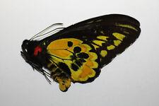 Ornithoptera rotschildi M no3