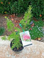 Grevillea rosmarinifolia Jenkinsi in ADVANCED 140MM POT native plant screen
