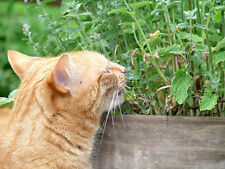 für den Garten: die Katzenminze erfreut Mensch und Tier !