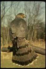 070082 Cooper's Hawk On Hunting Perch A4 Photo Print