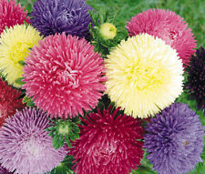 Aster Gremlin Mixed Colors Double Callistephus Chinensis - 20 Seeds