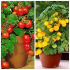 Seeds Indoor Tomato Dwarf Red Yellow Year Round Organic Heirloom Ukraine