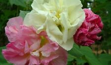 Confederate Rose Hibiscus (Double) Cotton Rose Perennial Flower Garden 10 Seeds