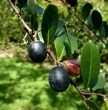 Paradise Plum Coco Plum Chrysobalanus icaco Organic 10 Seeds    (Free Shipping)
