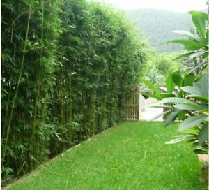 3 x Slender Weavers Gracilis Bamboo Plants. Screening, hedge. SYDNEY ONLY