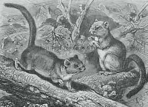 c1894 Antique Mouse Print THE COMMON DORMOUSE by Royal Natural History Lydekker