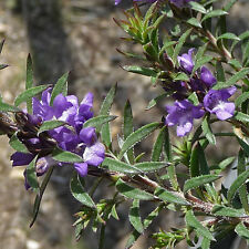 Eremophila densifolia ( Dense leaved Eremophila ) native plant in 50mm pot