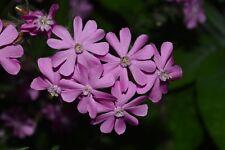 PERENNIAL SEEDS- Silene dioica 'Campion'