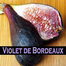 ~Violette du Bordeaux~ FIG TREE Ficus Carica NEGRONNE Petite Live sml Potd Plant