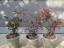 Pistacia lentiscus - Mastrixstrauch Pistazie - Pflanze 20-30cm Winterhart -12°C