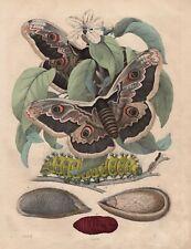 Wiener Nachtpfauenauge Saturnia pyri Raupe Puppe Original LITHOGRAPHIE von 1852