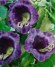 Organic Vine Flower seeds Kobea 'Purple Bells' (Cobaea scandens) from Ukraine.