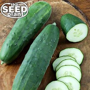 Straight Eight Cucumber Seeds - 50 SEEDS-SAME DAY SHIPPING