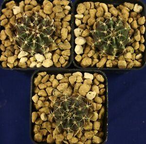 GYMNOCALYCIUM FRIEDRICHII =1/3= cacti 仙人掌 กระบองเพชร kakteen #4855