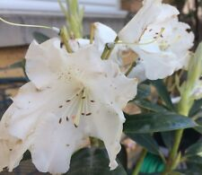Rhododendron YAK SNOW CROWN. Evergreen  Pink Flowers 3 Litre pot