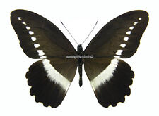 Unmounted Butterfly/Papilionidae - Papilio sjoestedti atavus, male, A1/A-