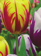 8 PRECHILLED BEAUTIFUL IDA AND FLAMING FLAG TULIP  BULBS PERENNIAL